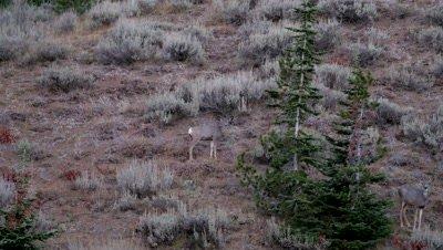 Mule deer doe standing and watching at dawn