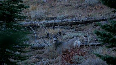 Mule deer mature buck watching at dusk,young buck enters