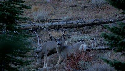 Mule deer mature buck watching at dusk,gets nervous,young buck feeds