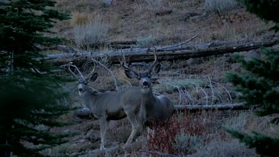 Mule deer mature buck and young buck watching at dusk,both flee