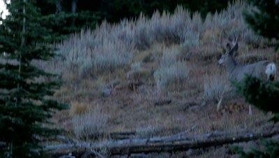 Mule deer mature buck and young buck trot then prong away