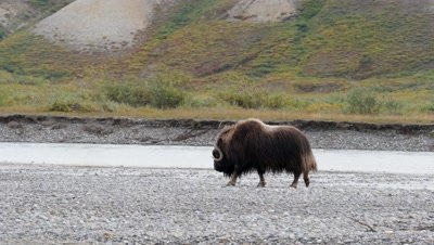 Musk Ox bull walking in river bed exits