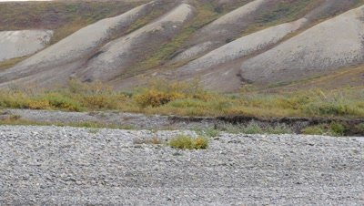 Musk Ox bull walking in river bed and feeding