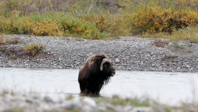 Musk Ox bull standing in river then walking in river bed