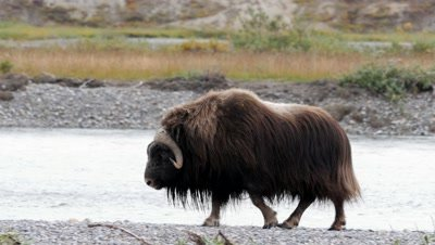 Musk Ox bull walking in river bed stops to look then exits