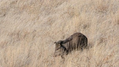 Collared Peccary sow with baby in tow walking through dry grass,exits