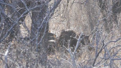 Collared Peccary herd huddled for warmth after cold night,fight erupts