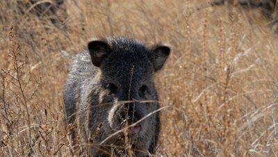 Collared Peccary close-up