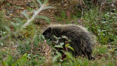North American porcupine foraging at dusk