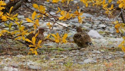 Willow ptarmigan sheltering from strong cold wind
