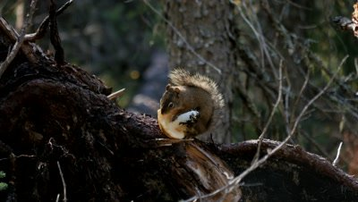 American red squirrel feeding on toadstool,exits