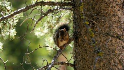 American red squirrel feeding on cone exits