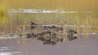 green-winged teal mixed group,males in non-breeding plumage,resting