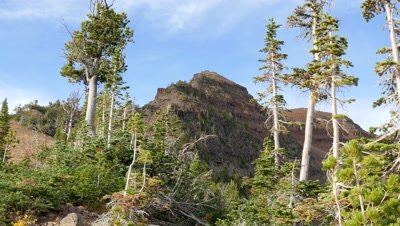 Whitebark Pine,Wallowa Mountain wilderness,Oregon