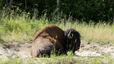 Wood bison bull in a dust bath,tail flicking