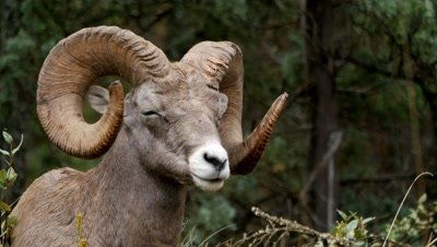 Rocky Mountain Bighorn Sheep ram chewing cud with eyes closed