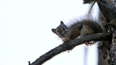 American red squirrel exits