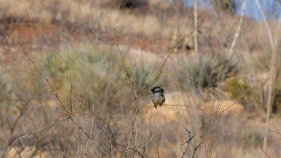 Orange-crowned warbler preening then exits