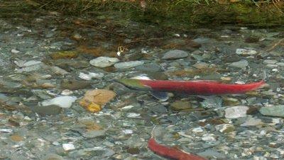 Red Salmon spawning