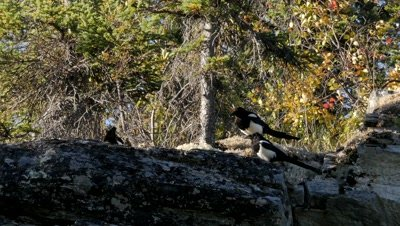 Black-billed Magpie interacting, close pass by a Merlin
