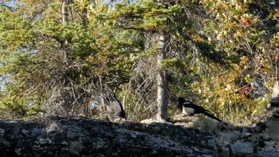 Black-billed Magpie feeding and interacting