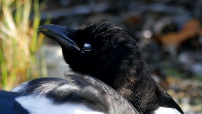 Black-billed Magpie feeding on carrion one singing, close up