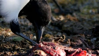 Black-billed Magpie feeding on carrion, close up