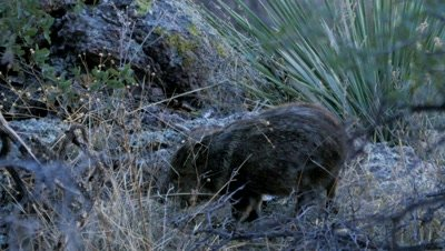 Collared Peccary juvenile feeding