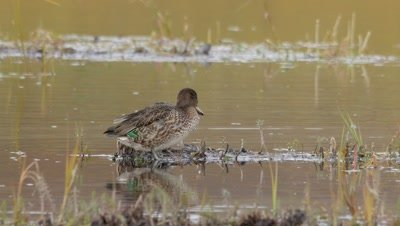 green-winged teal exits