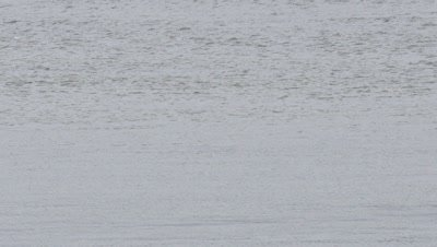 Beluga whale pod in Turnagain arm,Cook Inlet