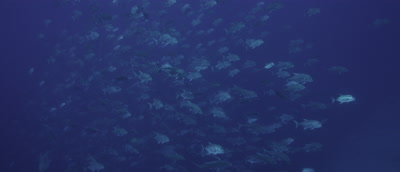 Giant Trevally,hundreds schooling