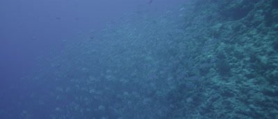 SailFin Snapper spawning aggregation