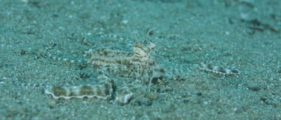Mimic Octopus crawling and changing colour