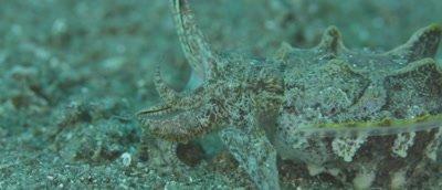 Flamboyant Cuttle Fish, Metasepia pfefferi, very close striking at prey