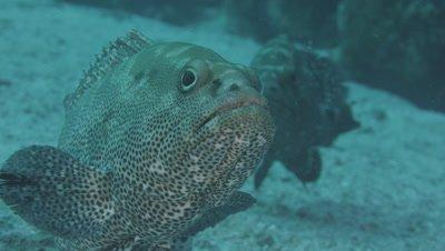 Camoflage Grouper, Epinephelus polyphekadion, at spawning aggregation