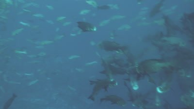 Black Snapper feeding on eggs/spawn of Red Snapper