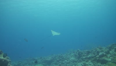 Spotted Eagle Ray fly by, slow motion