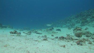 Spotted Eagle Ray swimming straight at camera, close, slow mo