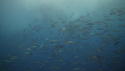 Red Snapper spawning close, ocean surface in background