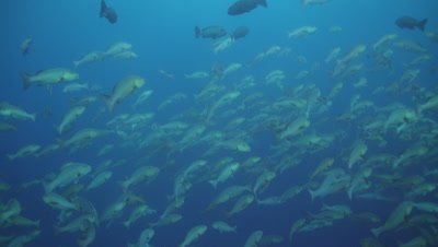 Red Snapper Spawning, limbatus sharks goes through fish