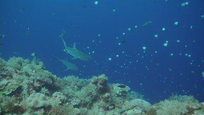Grey Reef Shark, on reef drop off, slowmo