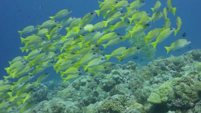 Blue Lined Snapper on reef, blue background