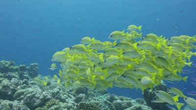 Blue lined snapper swaying in the current on a reef