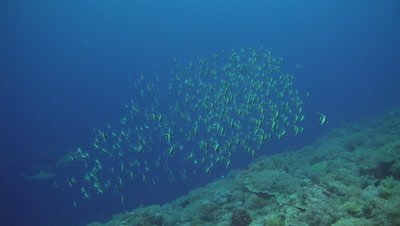 Moorish Idols aggregating reed prior to spawning