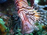 Lionfish Stalking