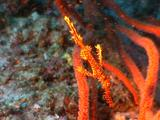 Ghost Pipefish Camouflaged