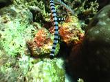 Banded Seasnake Glides Across Reef