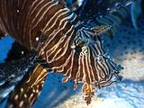 Lionfish Hovers Over Sand
