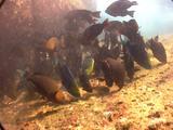 Schooling Parrot Fish Feeding
