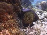 Trumpet Fish And Angel Fish On Reef